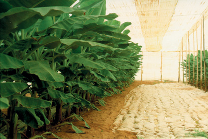 A row of banana plants in one of our greenhouses