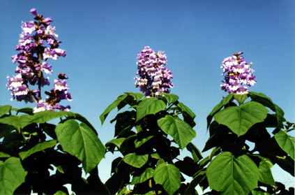 Flowering Paulownia trees